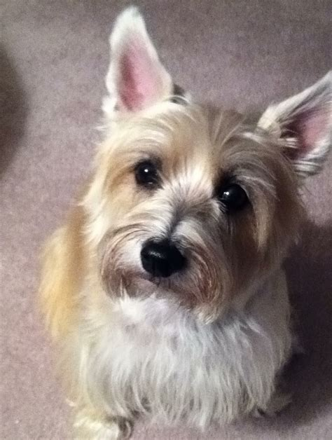 trim cairn terrier face 17 best images about cairn terriers on pinterest