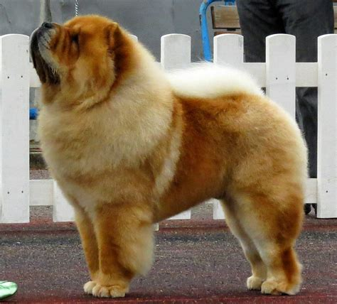 Do Chows Shed by The Modern Bark Tips Fluffy Breeds