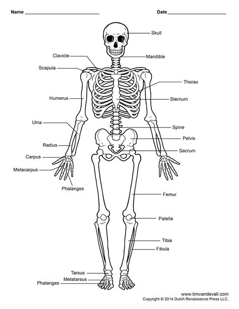 How To Make A Human Skeleton Out Of Paper - free printable human skeleton worksheet for students and