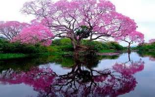 flowering tree by the lake wallpapers and images