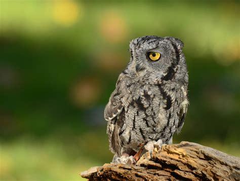 hawkquest eastern screech owl