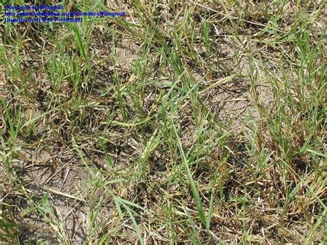 south african couch grass plantfiles pictures bermudagrass bahamas grass devil s