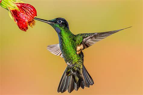 gratis afbeeldingen vogel vleugel bek kolibrie fauna