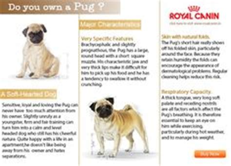 baby pugs facts 1000 images about pug pictures on pug pugs and show