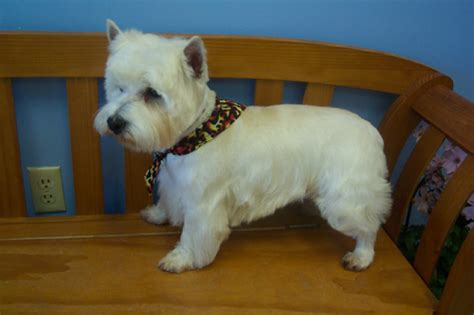 images of westie haircuts shaping the westies head when stripping grooming dog