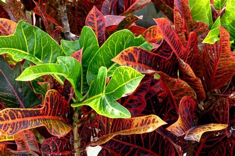 Colour Purple by Crotons How To Grow And Care For Codiaeum Variegatum