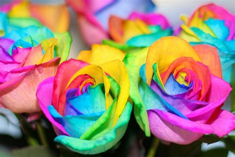 Pretty Colorful by Colorful Flowers Rainbow Roses Beautiful Flower Rainbow