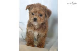 Non Shedding Dogs by Yorkiepoo Yorkie Poo Puppy For Sale Near Bowling Green