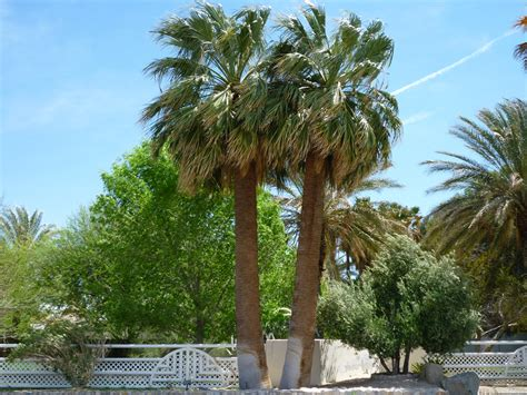 fan palm growth rate california fan palm growth