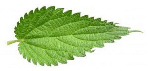 imagenes de hojas otoñales feuille d ortie t 233 l 233 charger des photos gratuitement