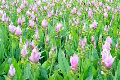 fiore curcuma significato dei fiori la curcuma pollicegreen