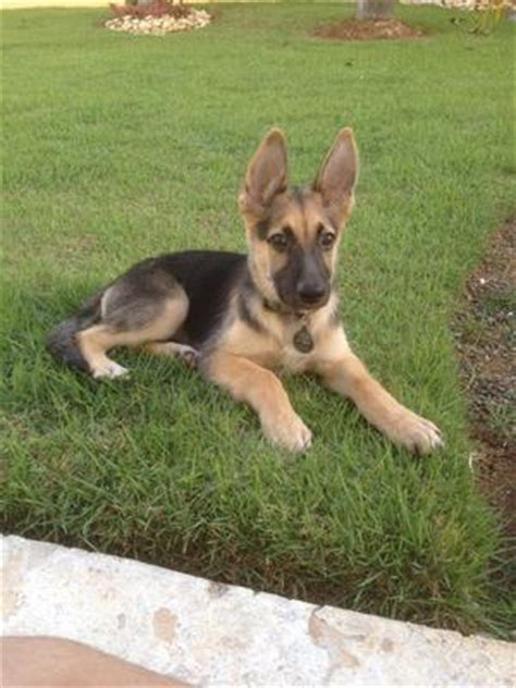 3 month german shepherd puppy german shepherd puppies 3 months photo