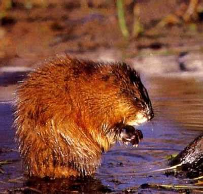 Sho Muskrat what is this critter