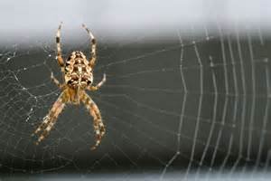 Garden Spider Building A Web Unravelling The Mystery Of Silk The Science Show Abc