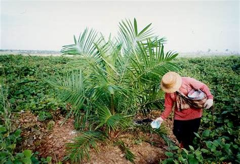 Minyak Kelapa Sawit Per Ton pabrik minyak kelapa sawit deli kajian arkeologi sosial