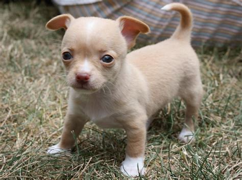 show me pictures of baby puppies baby tiny chihuahuas photo 15435688 fanpop