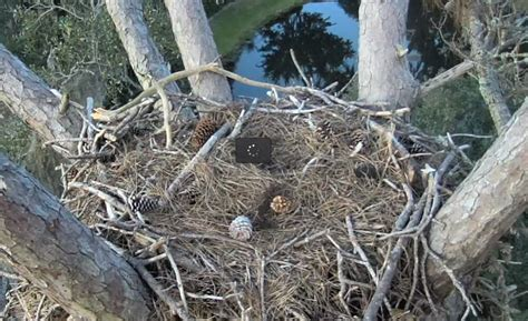 eagle bird nest www pixshark com images galleries with