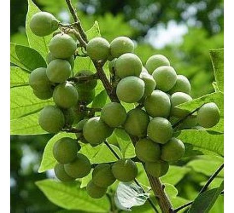 buy sapindus mukorossi ritha plant   cheap price