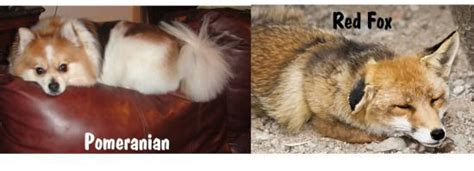 what do pomeranians look like pomeranian and fox comparison and differences