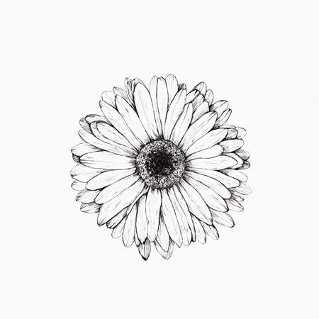 gerber daisies drawing www pixshark com images