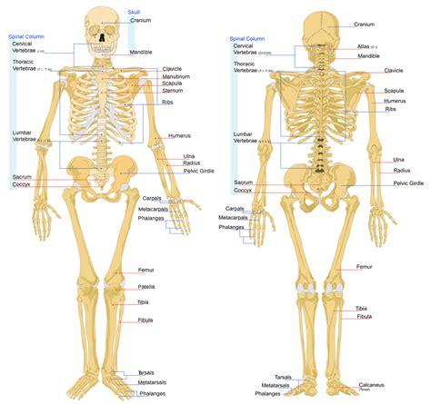 bone treats bone anatomy ask a biologist