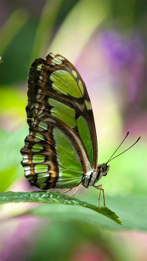 wallpaper green butterfly green butterfly wallpaper for iphone5