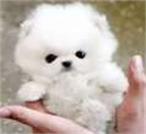 teacup pomeranian miami pomeranian puppies for sale by top breeders pets4you