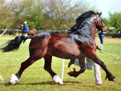 section d welsh cob welsh cob section d welsh sec d stallion equus the horse