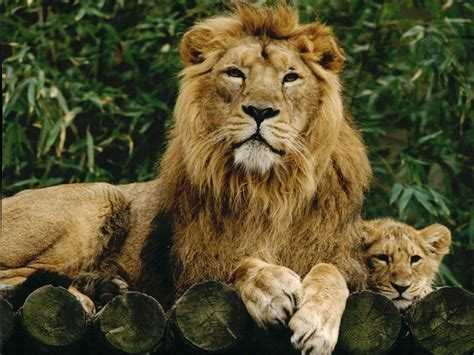 Inidia Cat 25 zoo to increase pride of asiatic lions and fund
