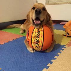 when do golden retrievers stop chewing 1000 images about toys for golden retrievers on toys golden