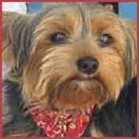 best food for yorkie poo 17 best images about best food for yorkies on best food for dogs