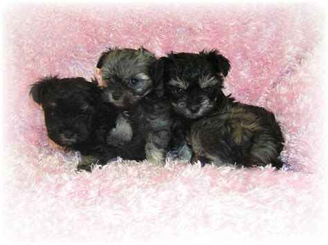 teacup puppies pictures pictures of teacup dogs www imgkid the image kid has it