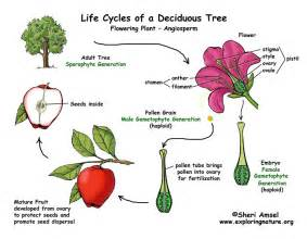 The Life Of A Flower - apple tree life cycle flowering plant exploring