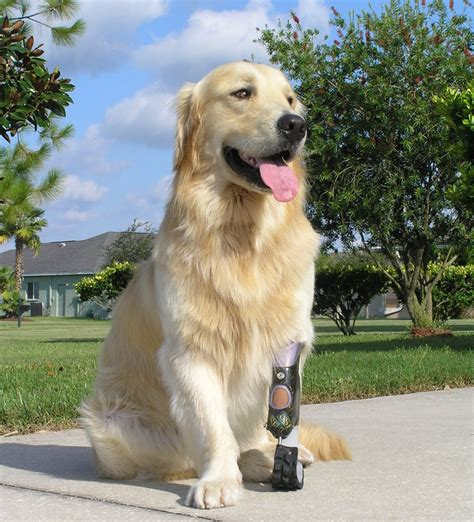 for dogs prosthetics for dogs prosthetic design research pdr ta florida