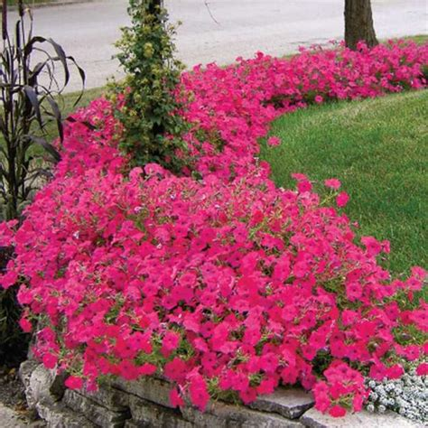 petunias spectacular flowering plants  beautiful yard