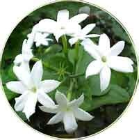 Tanaman Hias Melati Rombusamelati Cina didatik metodik quino khasiat bunga melati