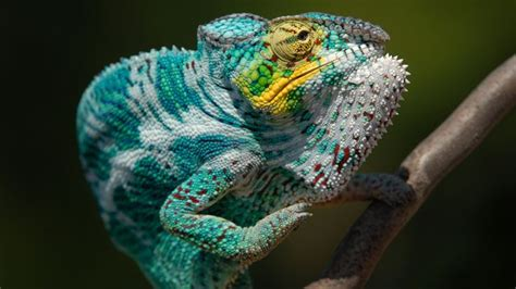 Cd Paket B Chameleons panther chameleon hd lizard wallpapers magazines panthers and posts