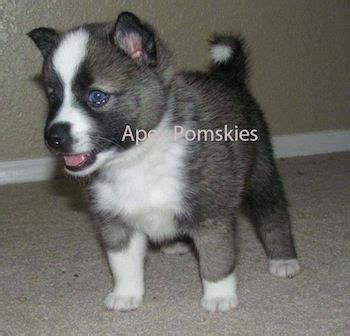 puppies for sale in cincinnati 17 best ideas about pomsky puppies on siberian husky puppies adorable
