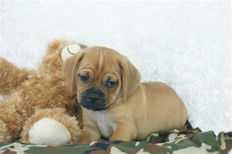 rockin r puppies beau puggle rockin r puppies