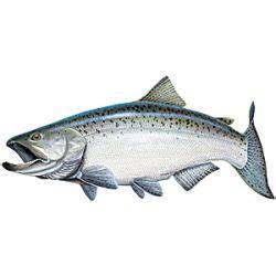 Salmon Stickers