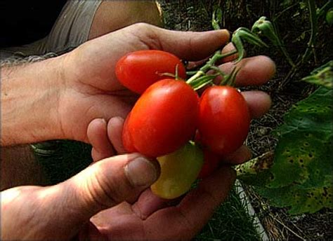 Tomat Cherry Juliet the victory garden grow plants vegetables award winning vegetables pbs