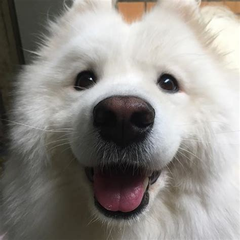 18 samoyed emotions every owner understands