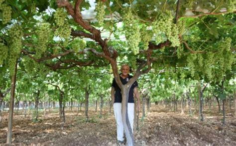 piantare uva da tavola tutto sull uva da tavola agronotizie vivaismo e sementi