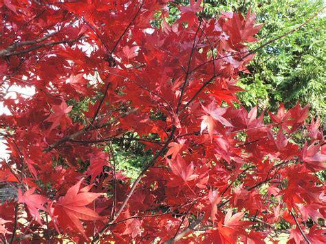 purple leaf japanese maple acer palmatum 212 kagami jc raulston arboretum