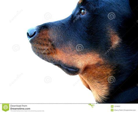 puppy profile profile stock photography image 1378322