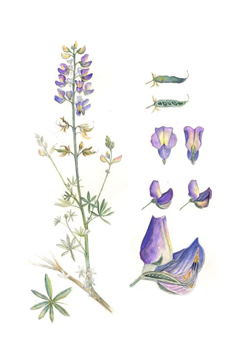 hollyhock tattoo designs lupines from miss rumphius tattoos blue