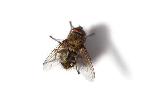 what causes flies in the house hibernating flies norwich norfolk