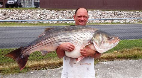 Missouri Records Taney County Angler Catches Record Striped Bass Missouri Department Of Conservation