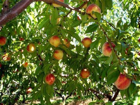 backyard peach tree peach trees in my backyard pinterest