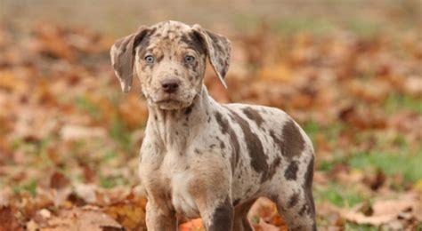 catahoula leopard price catahoula leopard puppies rescue pictures information temperament